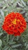 Fleur de deux couleurs Images libres de droits