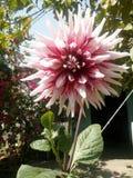 Fleur de Dhalia Photographie stock libre de droits