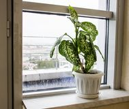 Fleur de diffenbachia sur le rebord de fenêtre photographie stock libre de droits