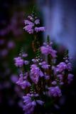 Fleur de digitale Photos libres de droits