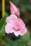 Fleur de dipladenia de rose de rose Photographie stock libre de droits