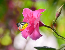 Fleur de dipladenia de rose de rose Photos libres de droits