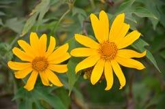 Fleur de diversifolia de Tithonia Photographie stock