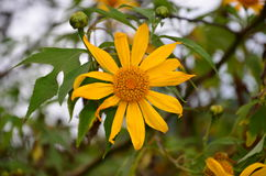 Fleur de diversifolia de Tithonia Photo libre de droits
