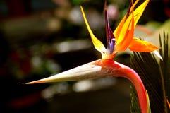 Fleur de dragon Photos stock