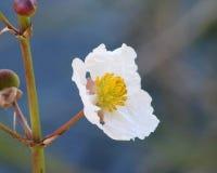 Fleur de Duck Potato (pointe de flèche feuillue) photo libre de droits