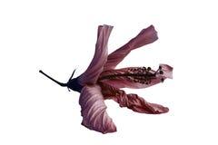 Fleur de effacement lumineuse, feuilles courbées, grande étamine, sur un fond blanc Photo libre de droits