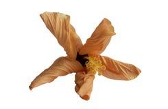 Fleur de effacement lumineuse, feuilles courbées, grande étamine, sur un fond blanc Photos stock