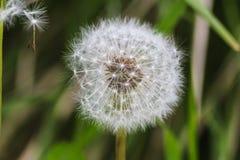 Fleur de fée de pissenlit Photos libres de droits