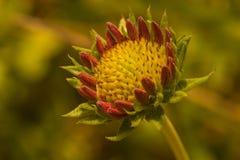 Fleur de fanfare de Gaillardia Photographie stock libre de droits