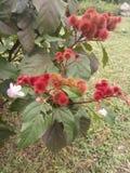 Fleur de feuille de merveille photographie stock libre de droits