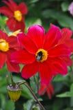 Fleur de Fewerfew Images libres de droits