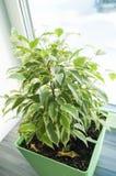 Fleur de ficus dans le pot vert Image libre de droits