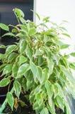 Fleur de ficus dans le pot vert Images stock