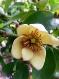 Fleur de figo de magnolia de fleur de banane belle avec le parfum unique Images stock