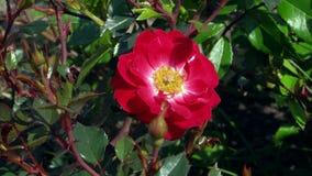 Fleur de fin de rose de rouge  Image libre de droits