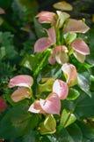 Fleur de flamant Images libres de droits
