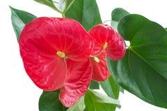 Fleur de flamant au-dessus de plan rapproché Photos libres de droits