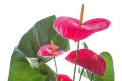 Fleur de flamant d'isolement Photo stock