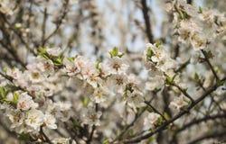 Fleur de fleur d'abricot Photographie stock