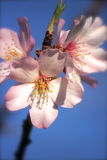 Fleur de fleur d'amande Photo libre de droits