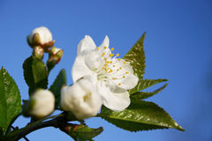 Fleur de fleur d'arbre de source image libre de droits