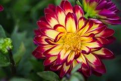 Fleur de fleur de dahlia dans le pré, parc, jardin, arrière-cour avec à Images libres de droits