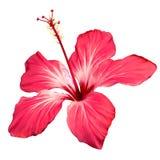 Fleur de fleur de ketmie Photos libres de droits