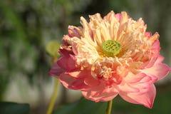 Fleur de fleur de Lotus Photo libre de droits