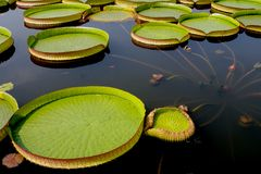 Fleur de fleur de Lotus Image stock