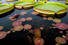 Fleur de fleur de Lotus photos stock