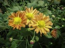 Fleur de fleur de mamans pendant l'hiver photos stock