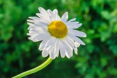 Fleur de fleur de marguerite des prés dans le jardin Images libres de droits