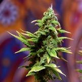 Fleur de fleur de Matanuska Photo libre de droits