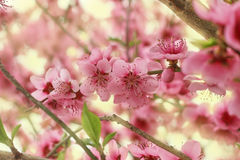 Fleur de fleur de pêche au printemps Photographie stock libre de droits