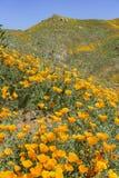 Fleur de fleur de pavot photo stock