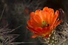 Fleur de fleur de ressort de cactus de désert Photographie stock libre de droits