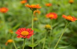 Fleur de fleur et fond oranges de tache floue Photos libres de droits