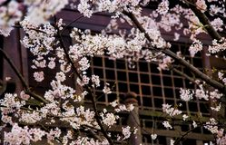 Fleur de fleurs de cerisier photos stock