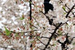 Fleur de fleurs de cerisier dans le jardin images libres de droits