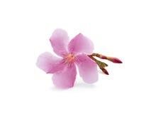 fleur de fleurs de cerisier Image libre de droits