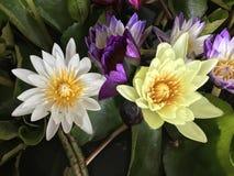 Fleur de fleurs de Lotus Photo libre de droits