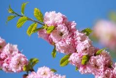Fleur de fleurs de Sakura images stock