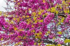 Fleur de fleurs sur une branche au printemps Image libre de droits