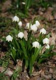 Fleur de flocon de neige de source photographie stock