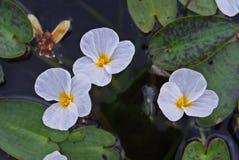 Fleur de flocon de neige ; fleur aquatique photographie stock