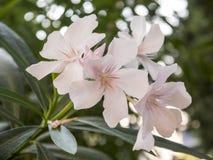 Fleur de floraison d'arbre de couleur rose douce Photographie stock libre de droits