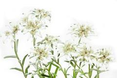 Fleur de floraison d'Edelweiss sur le blanc Photographie stock