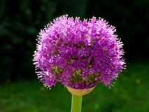 Fleur de floraison d'oignon d'allium formée par sphère pourpre photos stock