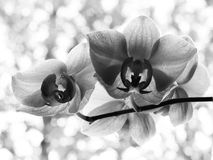 Fleur de floraison d'orchidée noire et blanche photographie stock